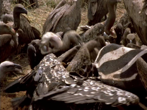 Vultures feed on a zebra carcass in Africa Live Action