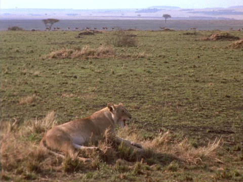 A lioness lounges on the plains in Kenya, Africa Footage