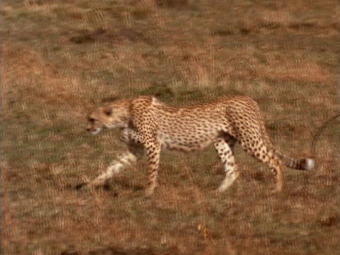 A cheetah strolls over the plains in Kenya, Africa Footage