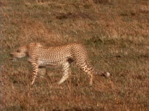 A cheetah strolls over the plains in Kenya, Africa Stock Video Footage