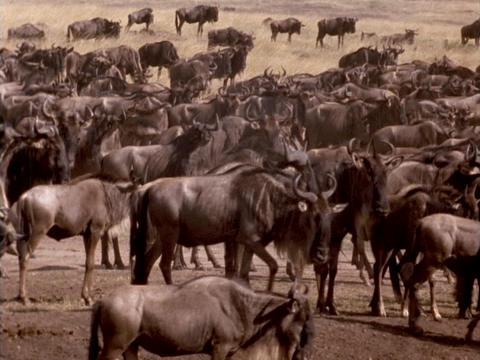 Wildebeests traverse the plains in Kenya, Africa Footage