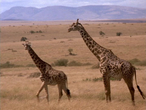 Giraffes survey the grasslands in Kenya, Africa Live Action