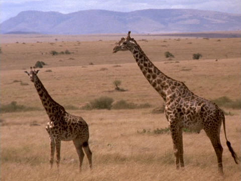 Giraffes survey the grasslands in Kenya, Africa Stock Video Footage