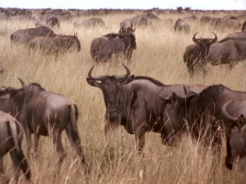 Wildebeests traverse the Kenya, Africa grasslands Stock Video Footage