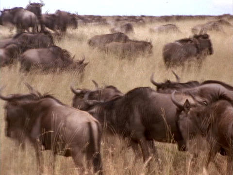 Wildebeests traverse the Kenya, Africa grasslands Footage