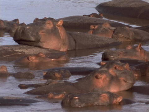 A pod of hippos laze in a river in Kenya, Africa Stock Video Footage