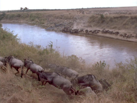 Herds of wildebeests race beside a river Stock Video Footage