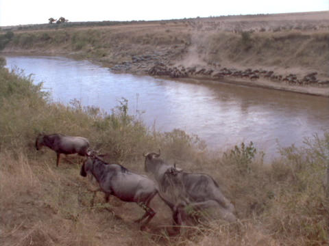 Herds of wildebeests race beside a river Footage