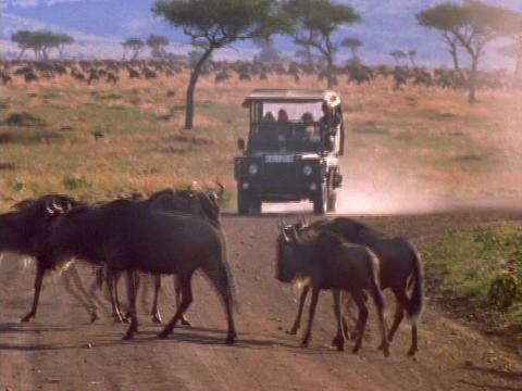 Wildebeests cross the road in front of a jeep in Kenya, Africa Live Action