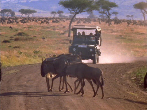 Wildebeests cross the road in front of a jeep in Kenya,... Stock Video Footage