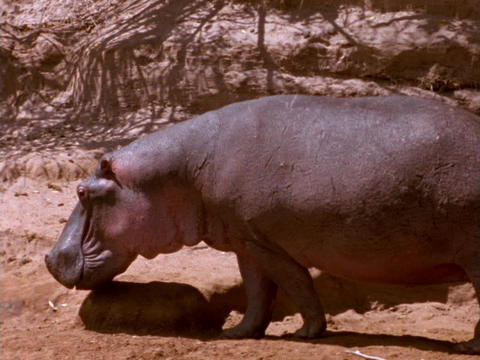 A hippopotamus plods through African mud Footage