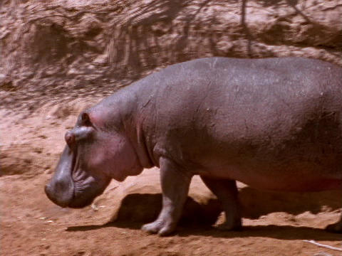 A hippopotamus plods through African mud Stock Video Footage