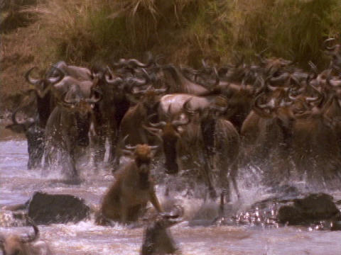 Wildebeests cross a river in Kenya, Africa Stock Video Footage