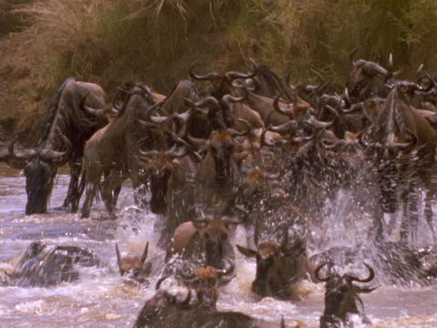 Wildebeests cross a river in Kenya, Africa Footage