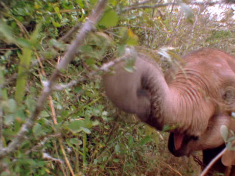 A baby elephant eats in an African forest Stock Video Footage