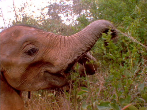Elephants munch on trees in Kenya, Africa Stock Video Footage
