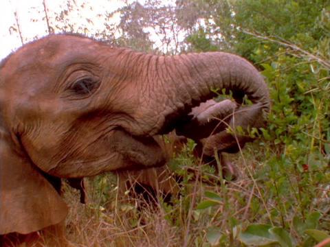Elephants munch on trees in Kenya, Africa Stock Video Footage