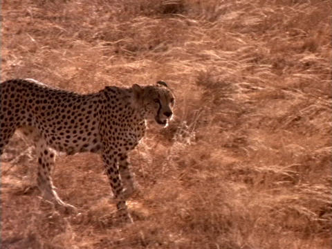 A cheetah walks over the plains in Kenya, Africa Stock Video Footage
