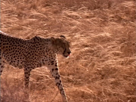 A cheetah walks over the plains in Kenya, Africa Live Action