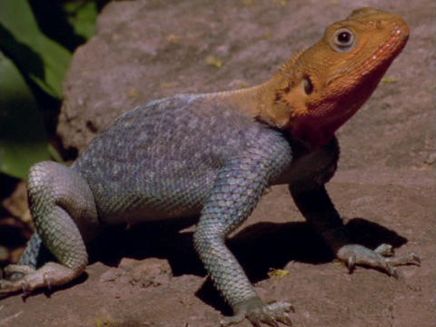 An iguana suns on a rock Stock Video Footage