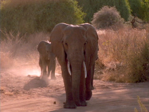 Elephants walk along a sandy trail in Kenya, Africa Stock Video Footage