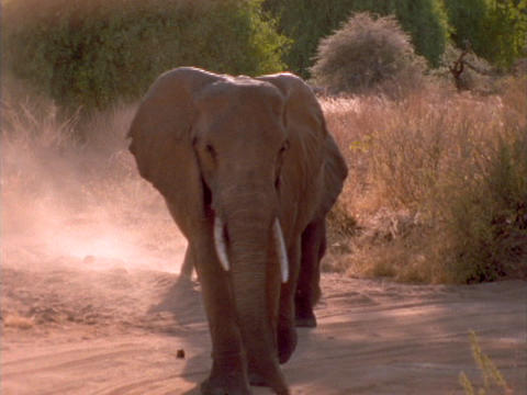 Elephants walk along a sandy trail in Kenya, Africa Live Action