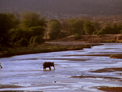 An elephant crosses a river in Kenya, Africa Live Action