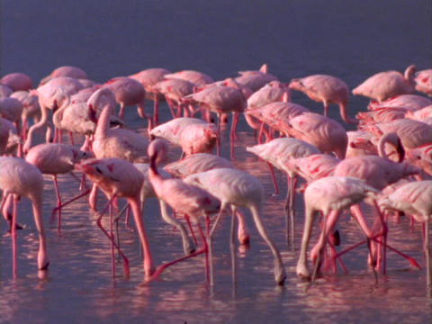 Pink Flamingos fish and stroll across a lake in Kenya,... Stock Video Footage