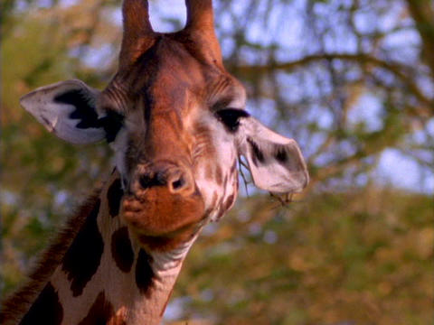 A giraffe licks its lips in Kenya, Africa Stock Video Footage