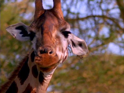 A giraffe licks its lips in Kenya, Africa Stock Video Footage