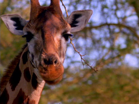 A giraffe licks its lips in Kenya, Africa Footage