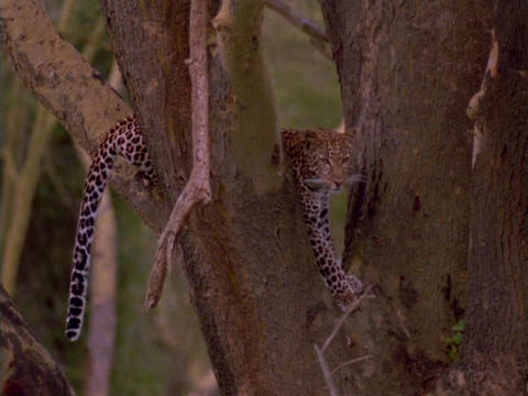 A cheetah rests in the crook of a tree Footage