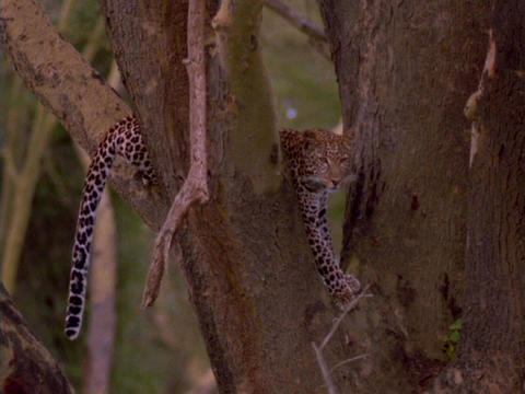 A cheetah rests in the crook of a tree Stock Video Footage