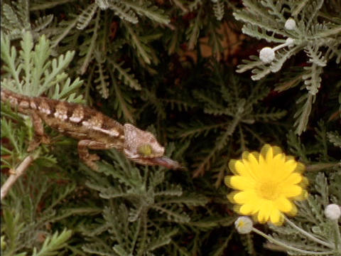 A lizard snatches a fly from a flower Stock Video Footage