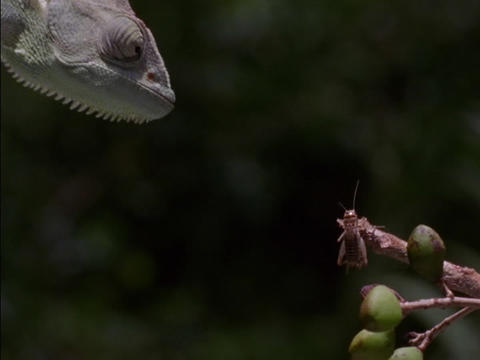 A lizard snatches a bug from a twig Stock Video Footage