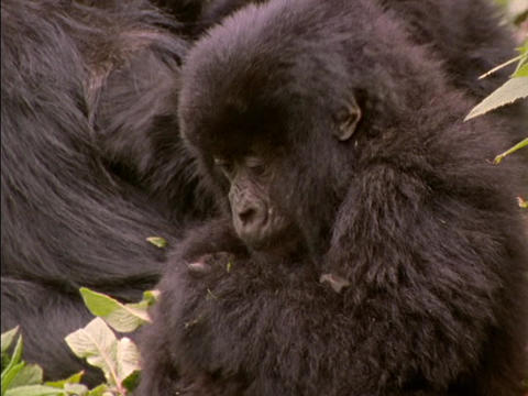 A baby gorilla chews on a leaf in Rwanda, Africa Footage