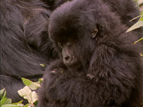 A baby gorilla chews on a leaf in Rwanda, Africa Stock Video Footage