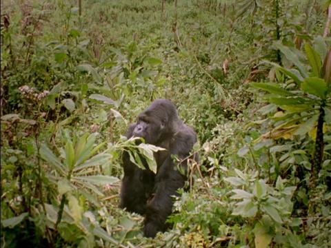 A gorilla strolls through the jungle in Rwanda, Africa Stock Video Footage