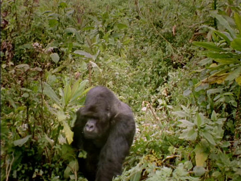 A gorilla strolls through the jungle in Rwanda, Africa Footage
