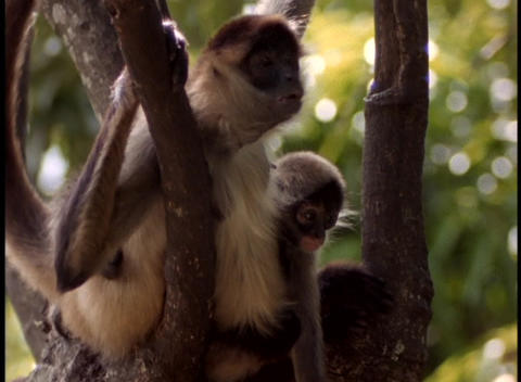 Panning-shot of howler monkeys in a tree Footage