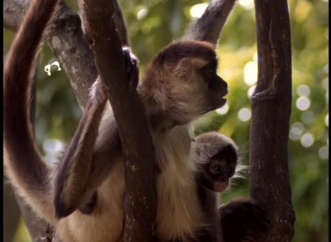 Panning-shot of howler monkeys in a tree Stock Video Footage