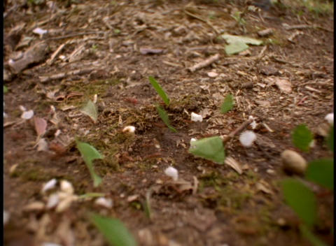 Medium-shot of leafcutter ants at work on the forest floor in the Brazilian Amazon rainforest Footage