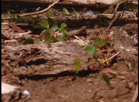 Close-up of leafcutter ants at work on the forest floor... Stock Video Footage