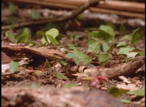 Close-up of leafcutter ants at work on the forest floor in the Brazilian Amazon rainforest Footage