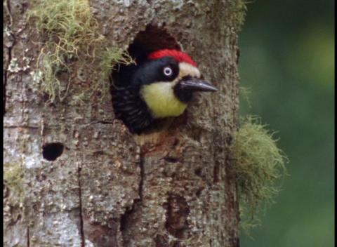 Medium-shot of an acorn woodpecker peering out of his nest in a tree Footage