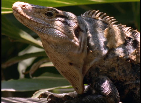 Close-up of a scaly-tailed lizard in the Amazon rainforest Stock Video Footage