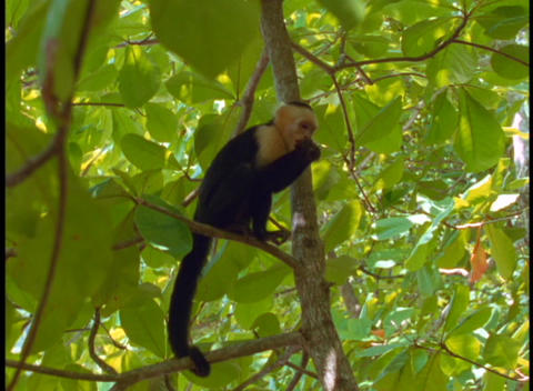 Medium-shot of a Amazon rainforest Spider monkey in a tree Stock Video Footage