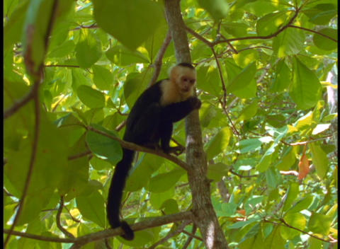 Medium-shot of a Amazon rainforest Spider monkey in a tree Footage