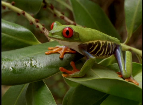Close-up of a bright green red-eyed tree frog Stock Video Footage