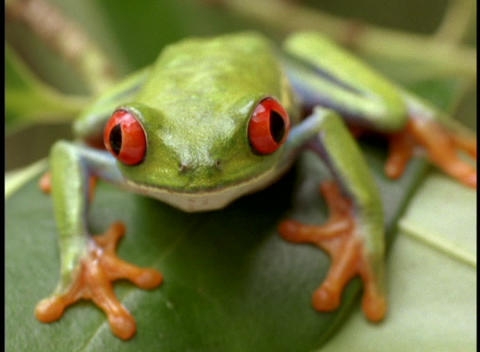 Extreme close-up of a bright green red-eyed tree frog... Stock Video Footage